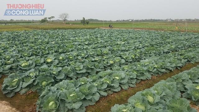 Hàng ngàn chiếc bắp cải đã được tiêu thụ