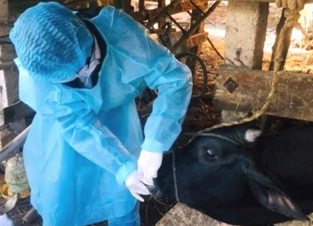 Người dân Quảng Ngãi phòng chống dịch bệnh lở mồm long móng trên đàn gia súc
