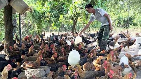 Hà Nội sẽ hỗ trợ tiêu thụ 1.600 tấn gà đồi Chí Linh (Ảnh minh họa)
