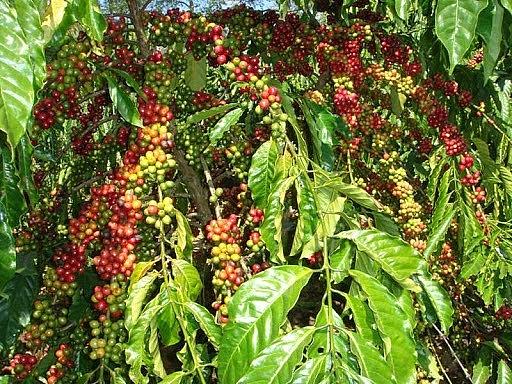 Giá cà phê trong nước tăng mạnh