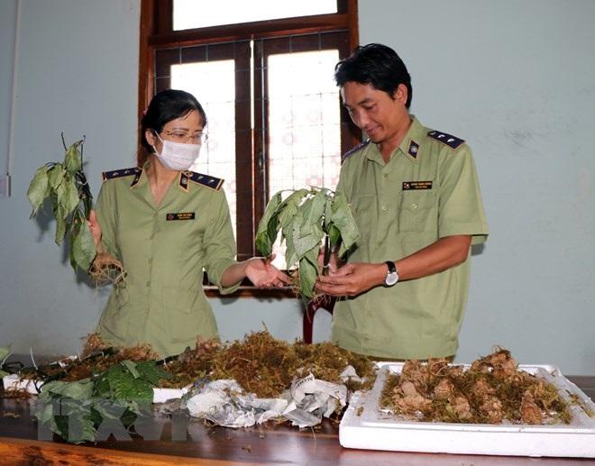 Các loại củ bị bắt từ sáng 1/3 có hình dạng giống củ sâm Ngọc Linh, được vận chuyển từ phía Bắc vào Kon Tum với mục đích đội lốt sâm Ngọc Linh để bán ra thị trường