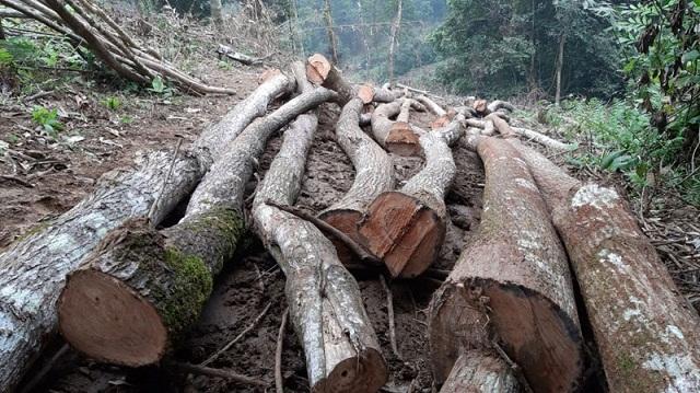 Những cây gỗ tại Vườn Quốc gia Xuân Sơn bị chặt hạ