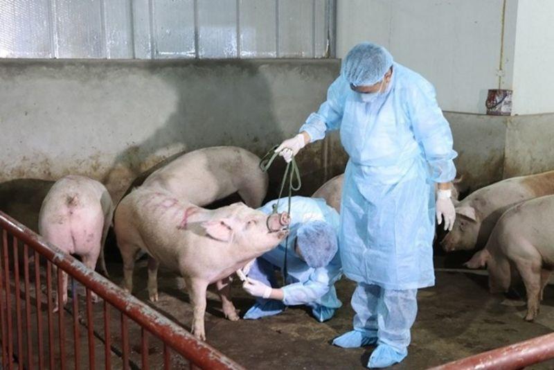 Dịch tả lợn châu Phi gây thiệt hại 28.000 tỉ đồng ở nước ta
