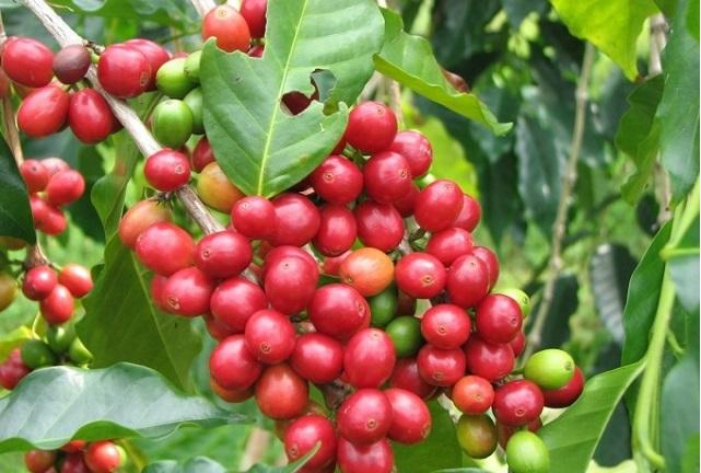 Giá cà phê trong nước hướng tới mốc 33.000 đồng/kg