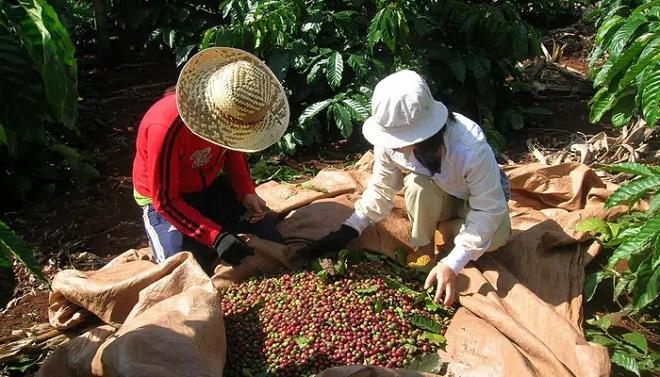 Giá cà phê hôm nay 19/4: thị trường trong nước hướng tới mốc 33 triệu đồng/tấn