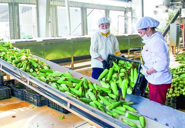 Sản phẩm ngô ngọt của huyện Vĩnh Lộc được Công ty CP Thực phẩm xuất khẩu Đồng Giao thu mua, chế biến.