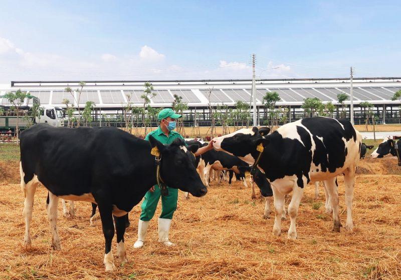 Vinamilk vừa đón đàn bò sữa 2.100 con từ Mỹ, nằm trong kế hoạch nhập khẩu hơn 5.000 bò sữa năm 2021 của Công ty