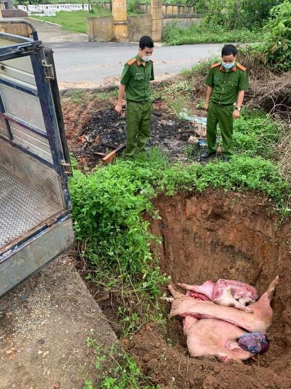 Số lợn chết được lực lượng chức năng tổ chức tiêu hủy