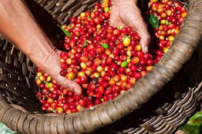 Hôm nay 4/5 giá cà phê trong nước giao dịch ở mức