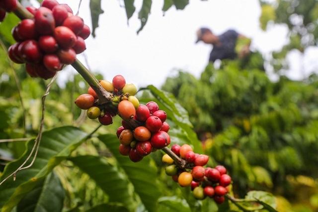 Cà phê trong nước tăng nhẹ 100-200 đồng/kg