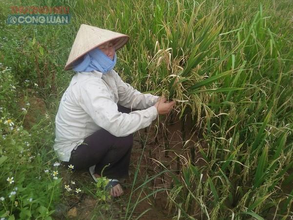 Người dân không khỏi lo lắng vì lúa lép quá nhiều