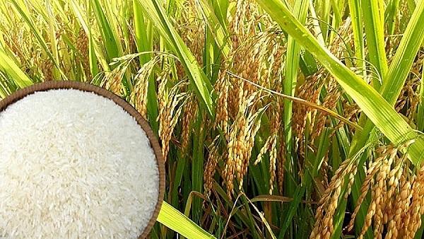 Giá lúa gạo ngày 11/6 duy trì ổn định