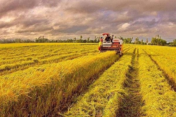 Lúa nếp vỏ tươi giảm 600 đồng/kg