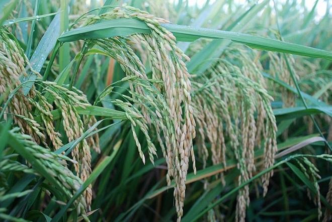 Giá lúa gạo hôm nay 22/7: Giá lúa tươi giảm mạnh
