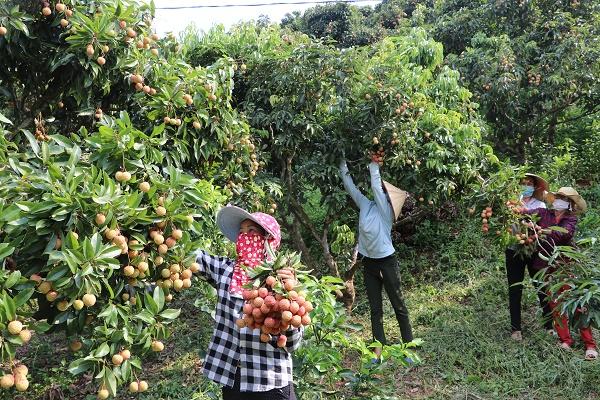 Bà con nông dân xã Hồng Giang, huyện Lục Ngạn thu hoạch vải thiều