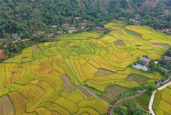 Mùa vàng tại xã Nghĩa Đô, huyện Bảo Yên