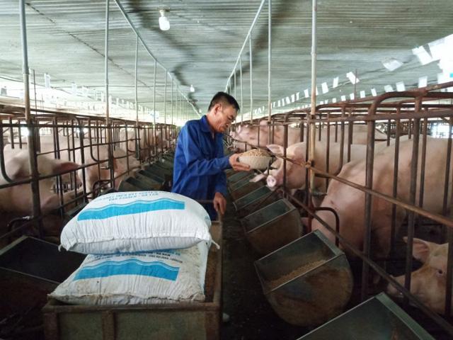 Bộ Tài chính đề xuất giảm thuế nhập khẩu lúa mì và ngô để giảm giá thức ăn chăn nuôi trong nước.