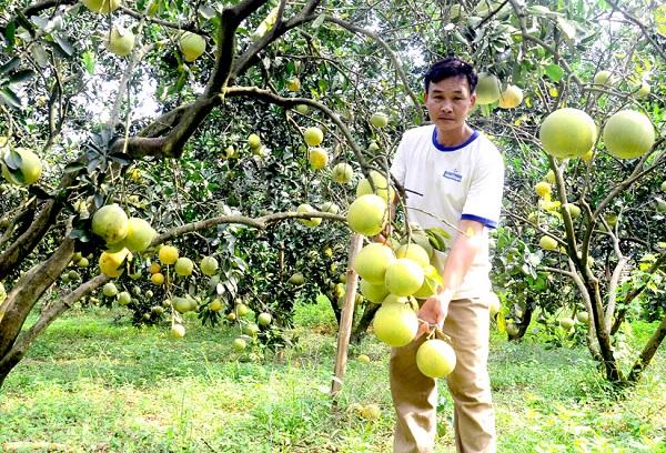 Bưởi Soi Hà được trồng tại đất Xuân Vân (Yên Sơn)
