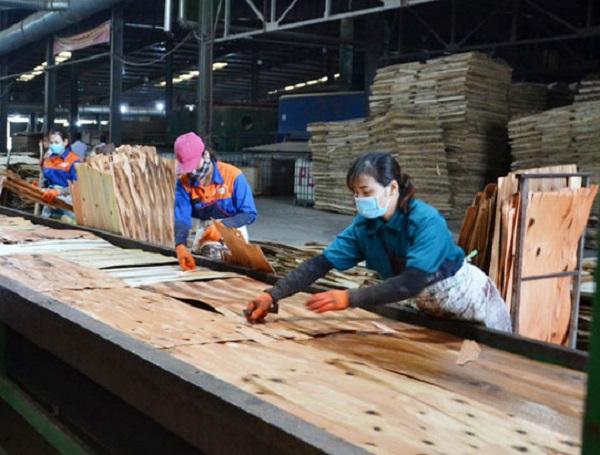 Công nhân đưa nguyên liệu ván bóc từ gỗ rừng trồng vào dây chuyền sản xuất ván dán xuất khẩu ở Nhà máy ván dán Bảo Yên