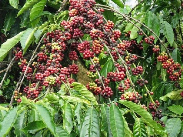 Giá cà phê hôm nay tăng mạnh 800 đồng/kg