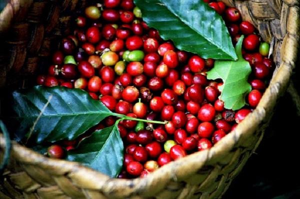 Giá cà phê giao dịch trong khoảng 39.800 - 40.700 đồng/kg